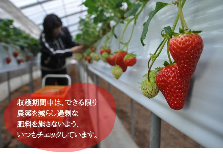収穫期間中は、できる限り 農薬を減らし過剰な 肥料を施さないよう、 いつもチェックしています。