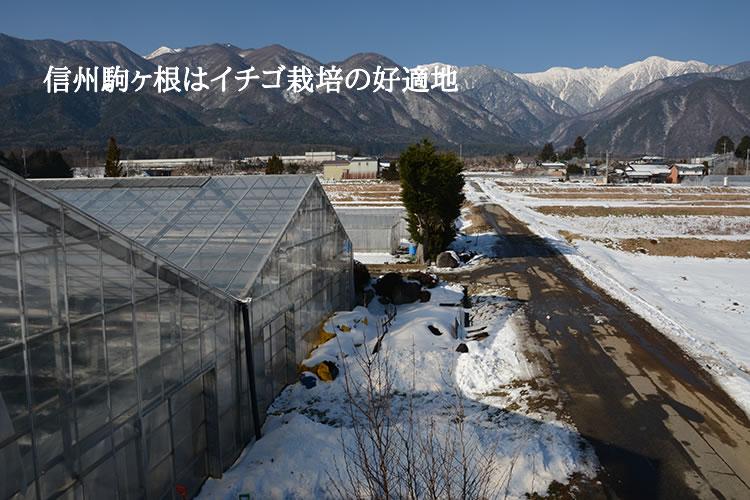 信州駒ヶ根はイチゴ栽培の好適地